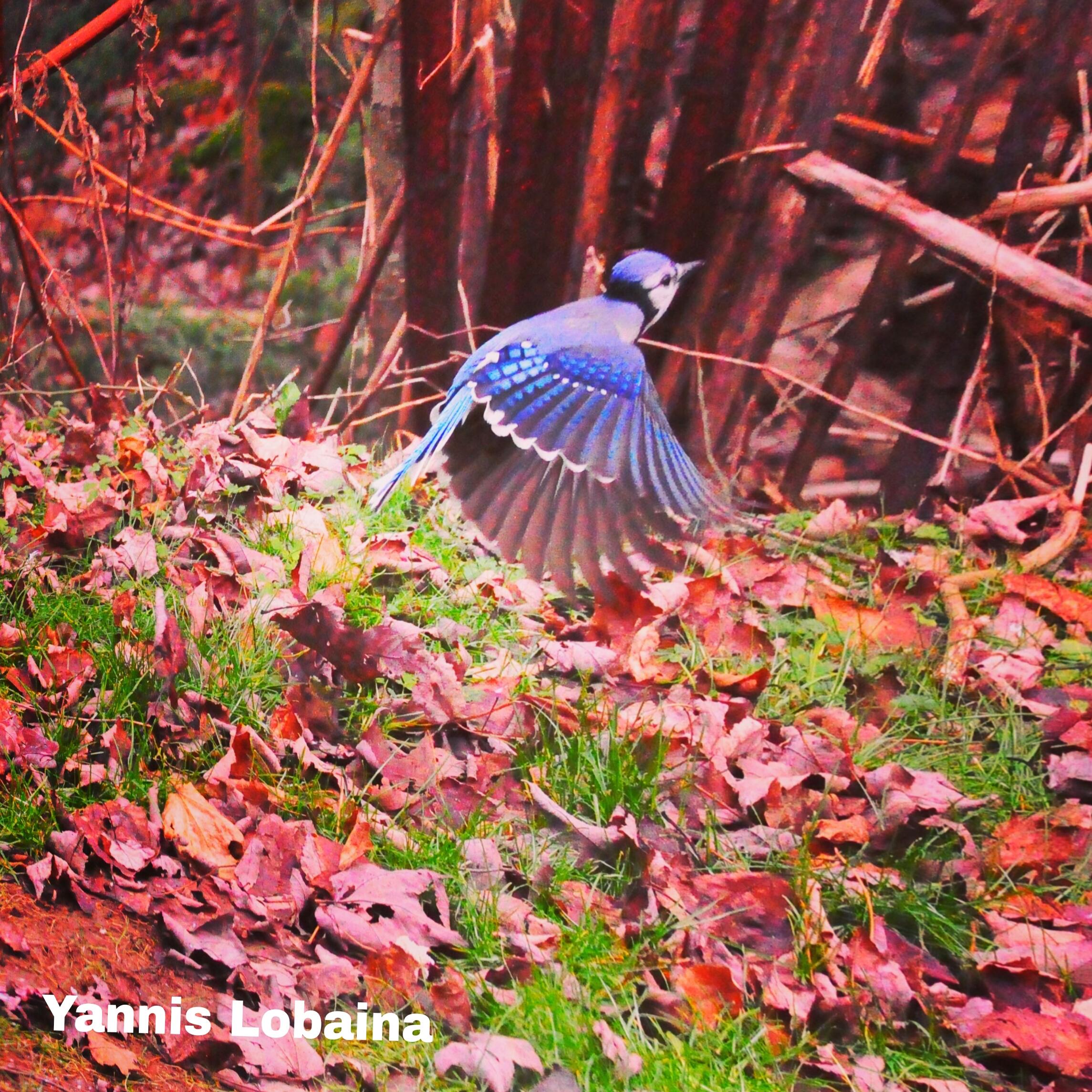 BLUE JAY VOLANDO!!